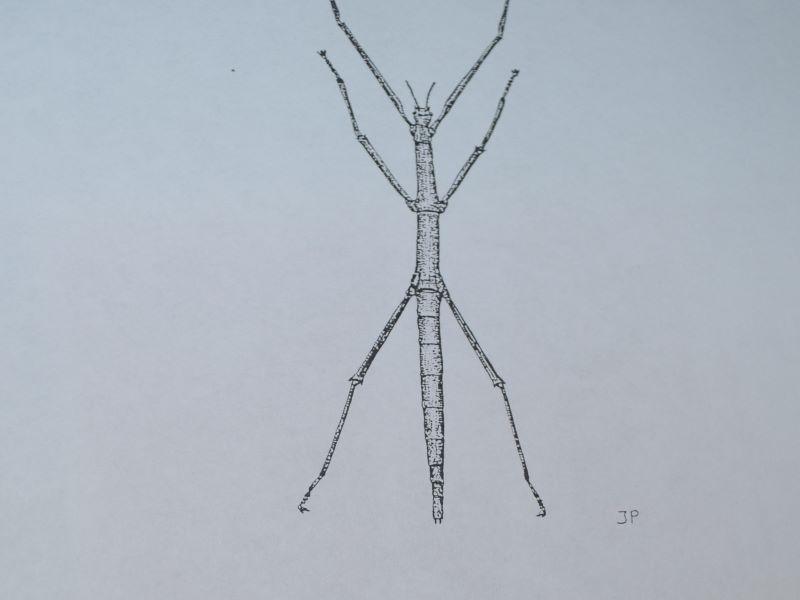 insetto stecco: Bacillus Lynceorum Bullini