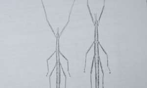 Insetti Stecco: Bacillus grandii