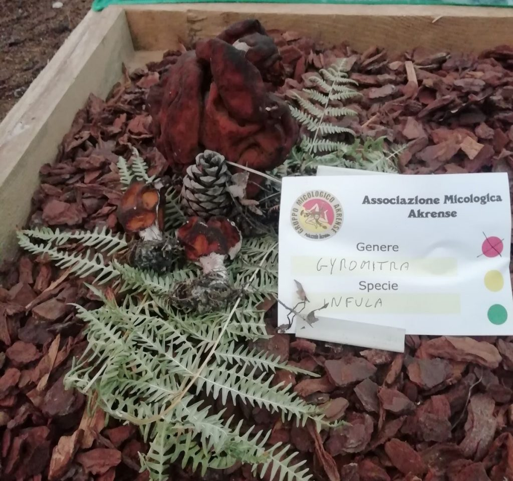 Associzione micologica akrense: genere-Gyromitra, specie infula