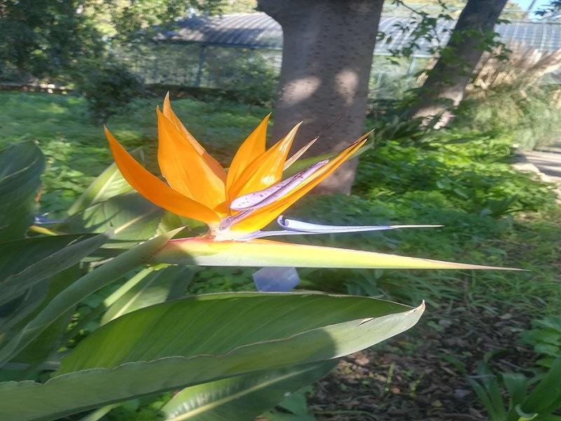 strelitzia reginae, una delle piante più belle dell'orto botanico di palermo