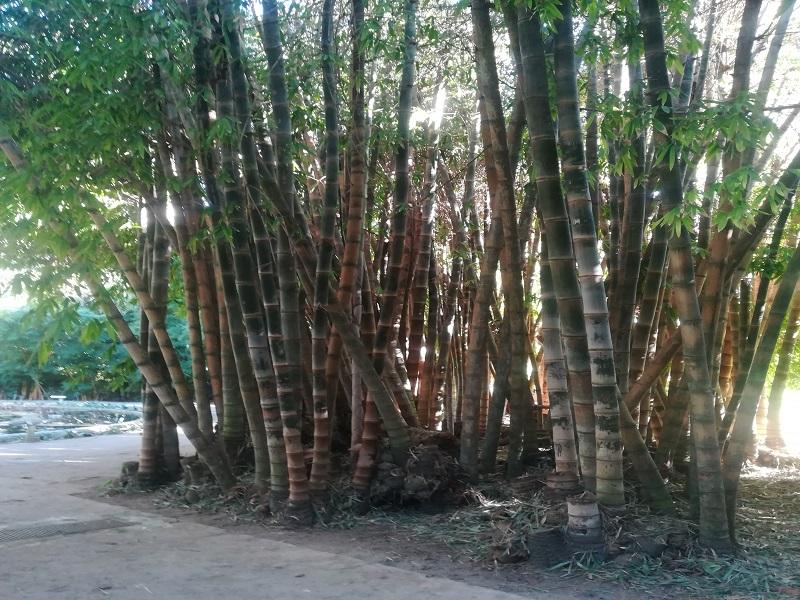 piante di bambù dell'orto botanico di palermo