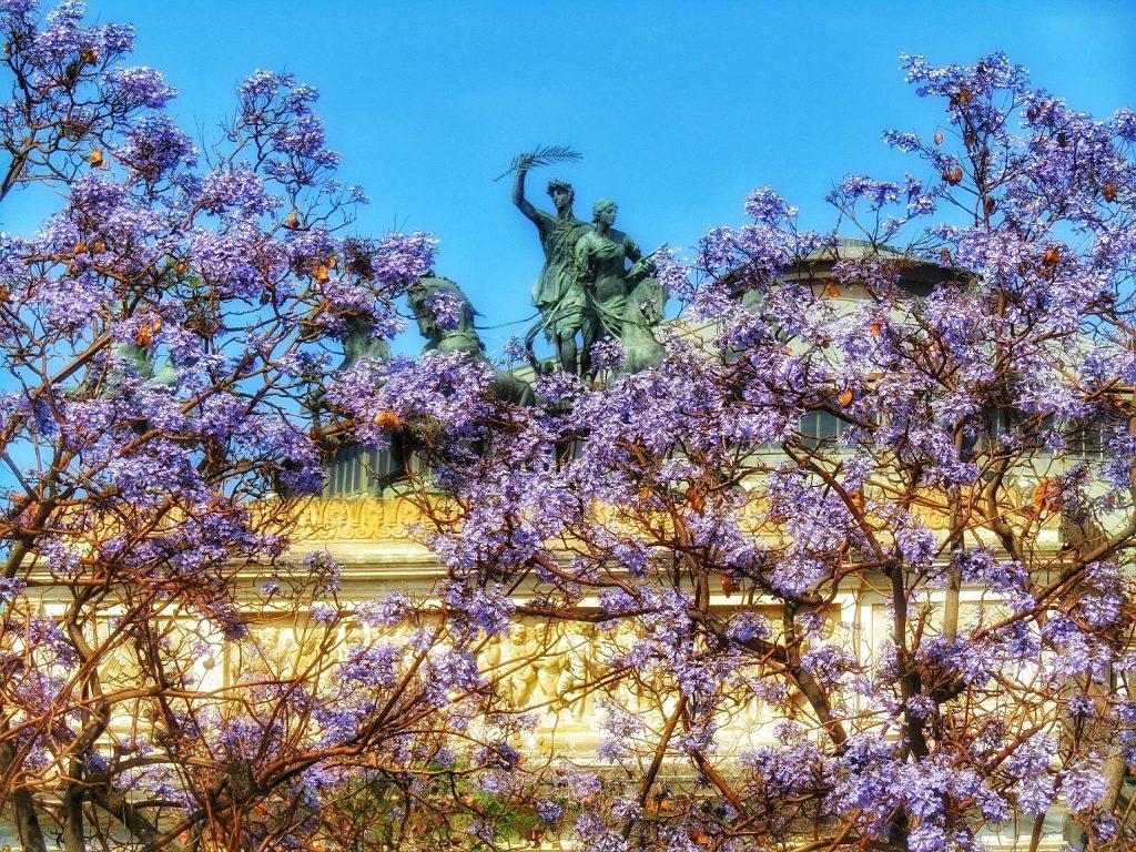 Fiori di Palermo: jacaranda in fiore dinanzi il Politeama
