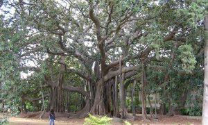 1280px Ficus Macrophylla Palermo