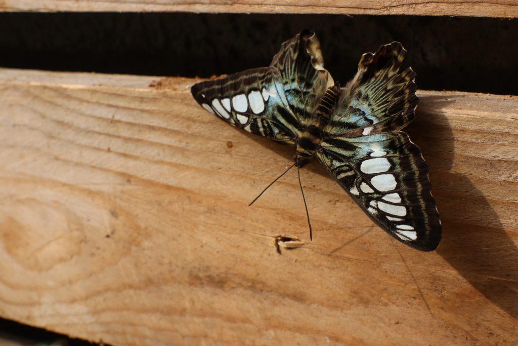 Farfalla presso casa delle farfalle