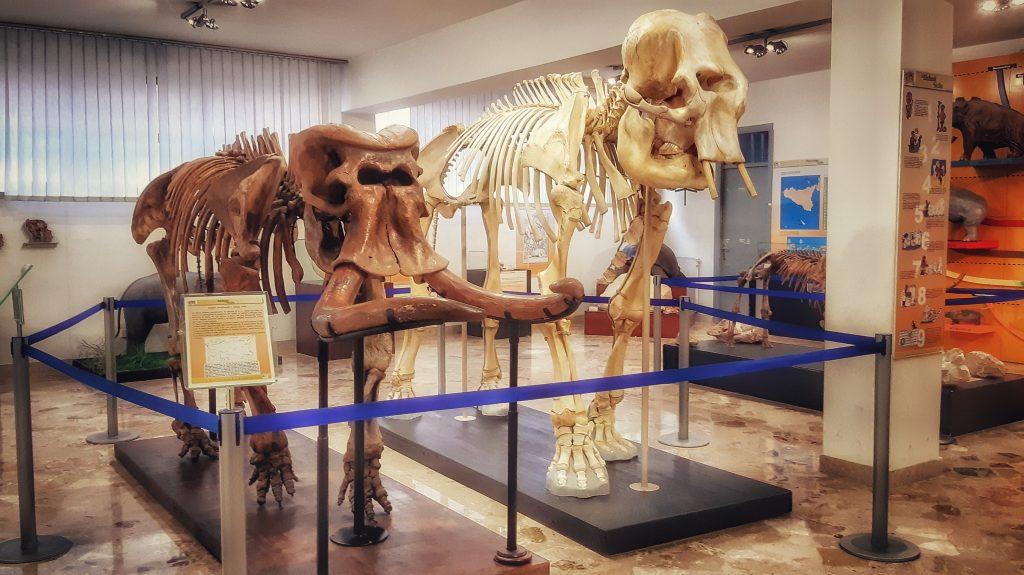 Elefanti siciliani in mostra al Museo geologico e paleontologico Gemmellaro