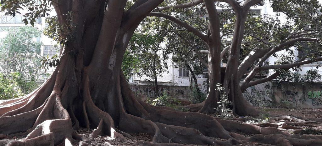 Ficus Vicino Muro