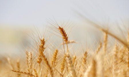 Il grano da cui si ricava la farina