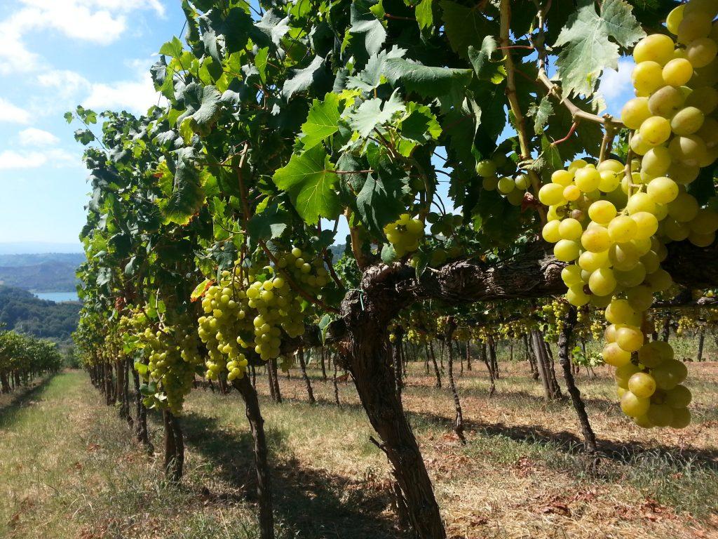 Wine Vigneto Calabrese