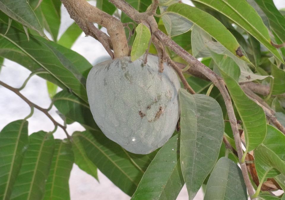 Annona Cherimola frutto esotico calabrese