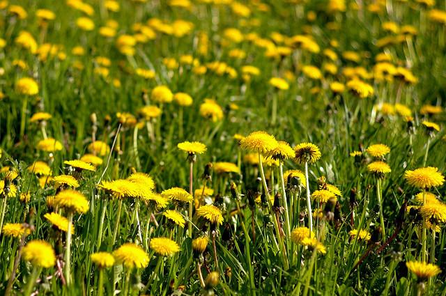 erbe di campo