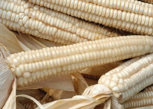 Il Mais biancoperla per la famosa polenta bianca