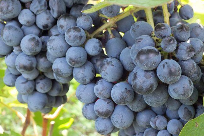 Il polesine ed il vino