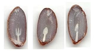 semi di cachi