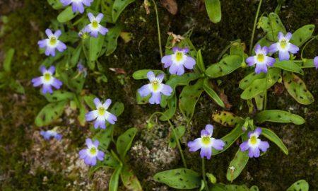 Una Fioritura Di P. Hirtiflora Presso Lacqua Santa 1