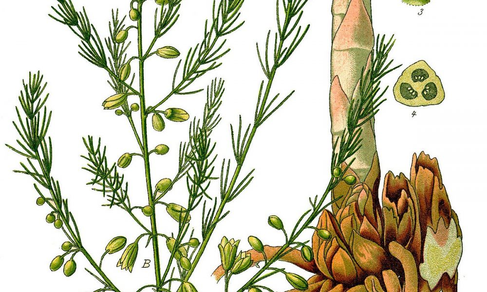 1200px Illustration Asparagus Officinalis0b