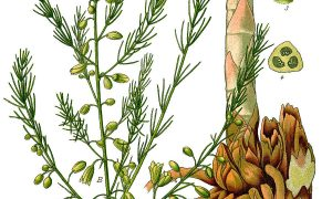 1200px Illustration Asparagus Officinalis0b