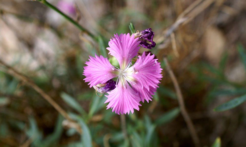 Dianthus Rupicola