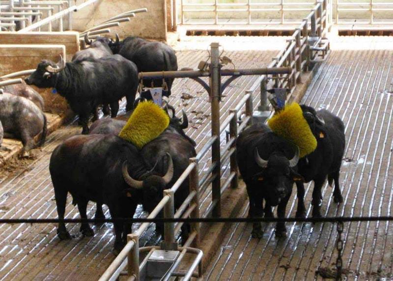 Le bufale mentre vengono lavate