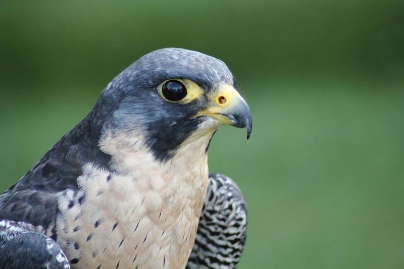 Falco del Parco di Diecimare