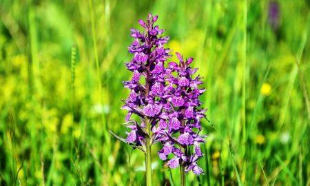 Valle delle Orchidee - Una orchidea viola nella valle