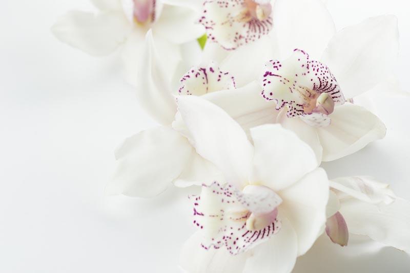Valle delle orchidee - una orchidea bianca a puntini viola