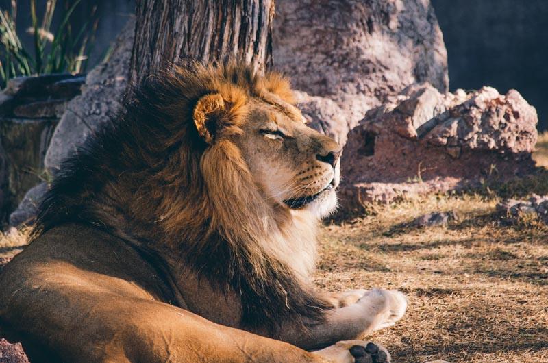 Leoni - Un leone prende il sole