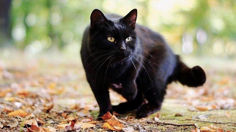 Superstizione - un gatto nero nel bosco