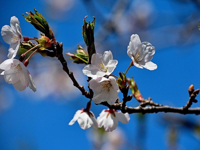 High Park, fiori di ciliegio