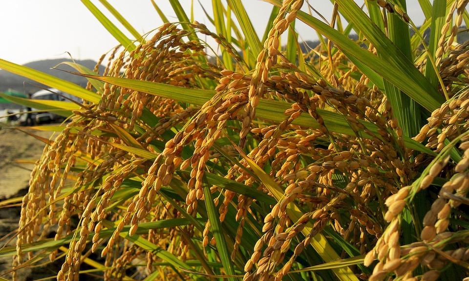 Spighe di riso