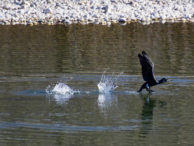 Parco Lame - esemplare di uccello acquatico