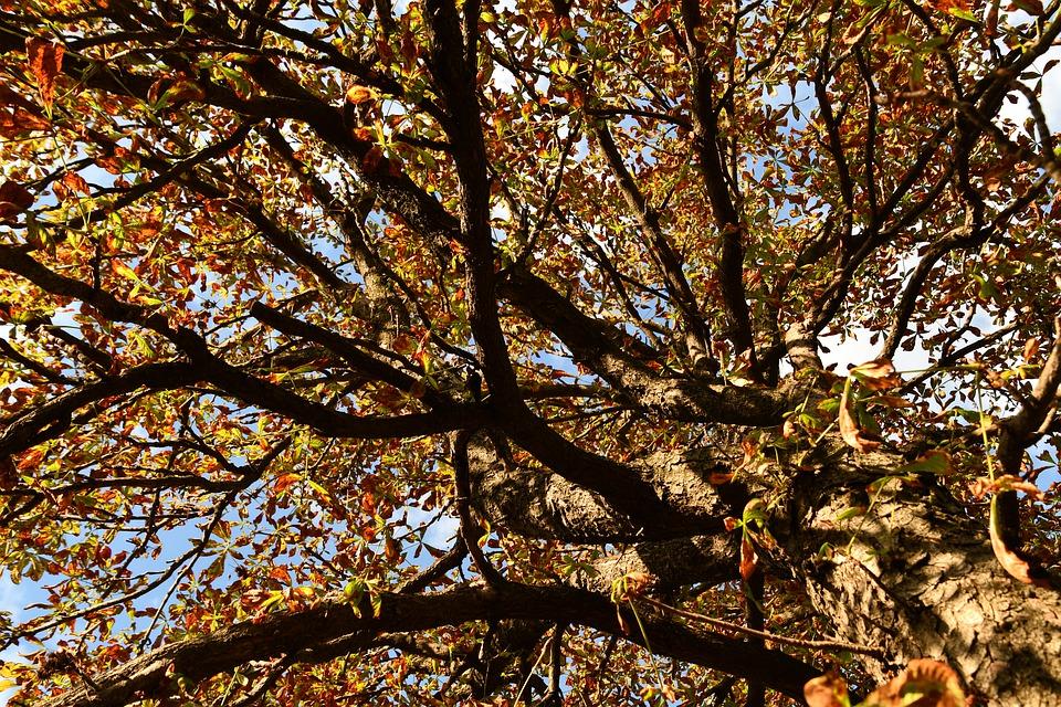 Castagne Cuneesi sugli alberi secolari
