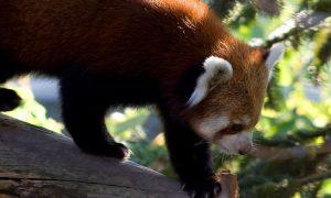 Panda Rosso Parco Natura Viva