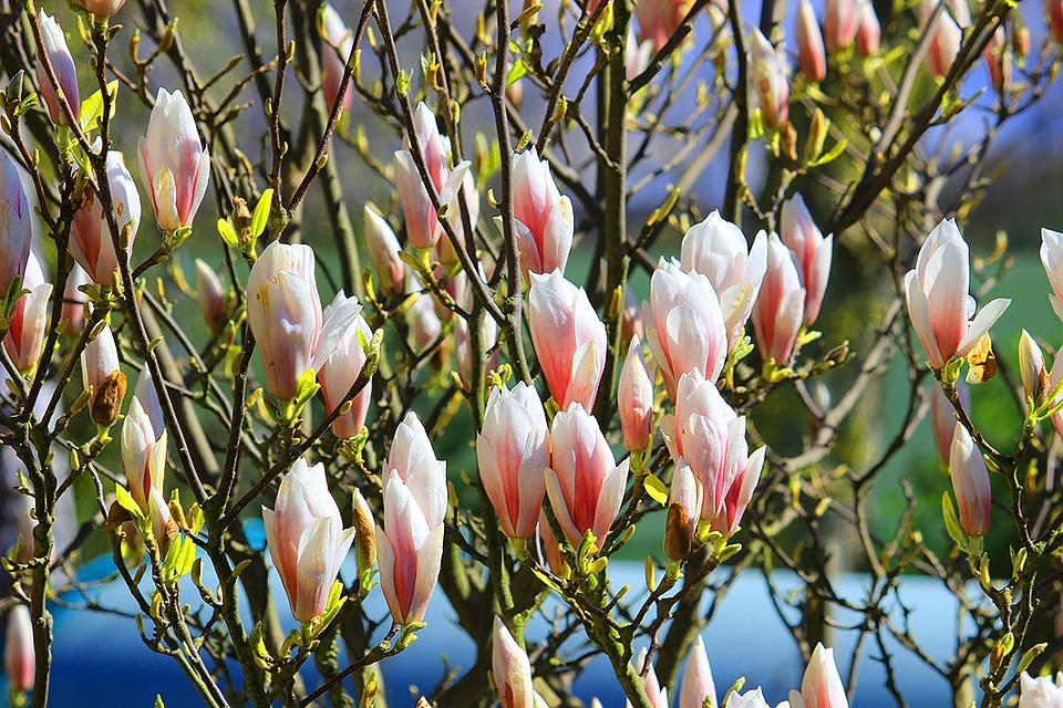 Giardini Salvi - Albero Dei Tulipani in fioritura