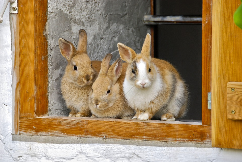 Il coniglio alla vicentina - Coniglietti di allevamento