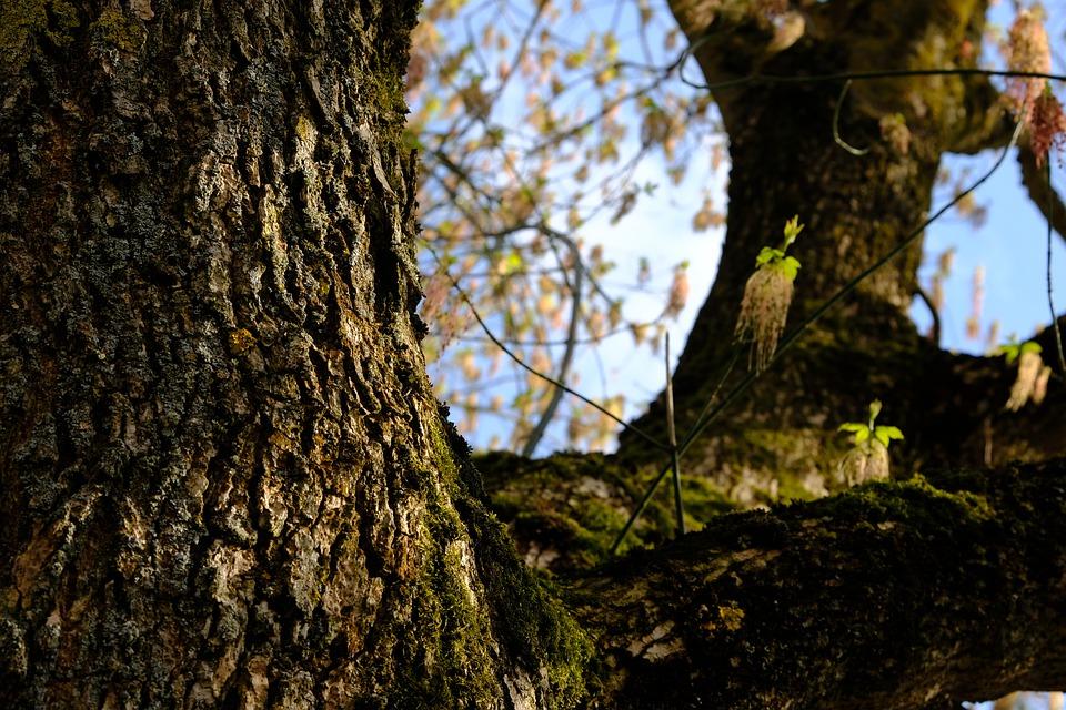 Giardini Salvi - alberi di Frassino