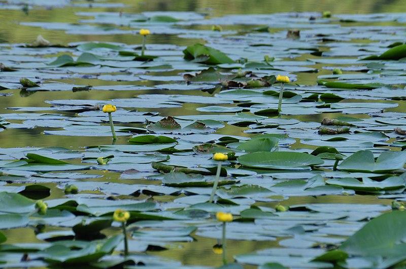 Il lago di Fimon - Ninfee nel laghetto